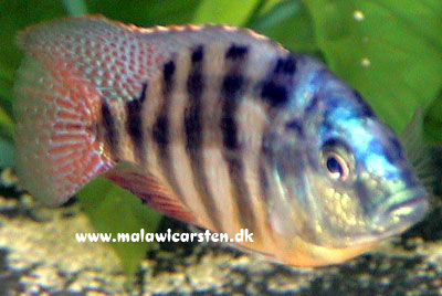 "Placidochromis sp. ""Johnstoni Solo"""