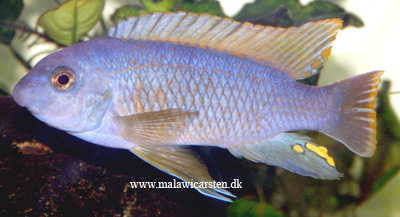 "Labeotropheus fuelleborni ""Yellow side"" Maleri Island"