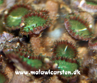 Protopalythoa sp. Green Button