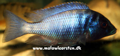 "Placidochromis electra ""Black Mask"" Gome"