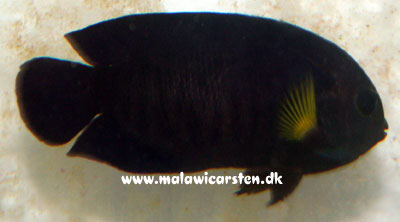 Centropyge flavipectoralis - Yellow Fin Angel