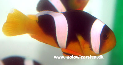 Amphiprion Sebae - Two Stipe Clown fish
