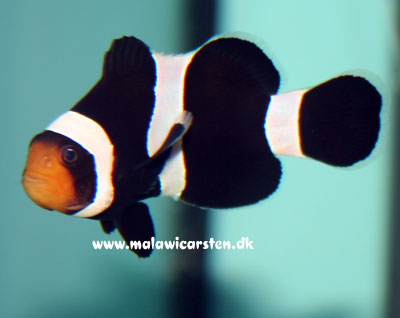 "Amphiprion ocellaris (black) ""Darwini"""