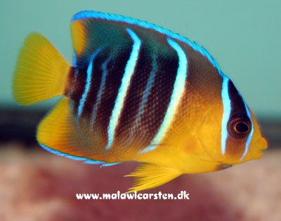 Holacanthus bermudensis - Blue angel ungfisk