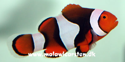 Amphiprion percula (black)