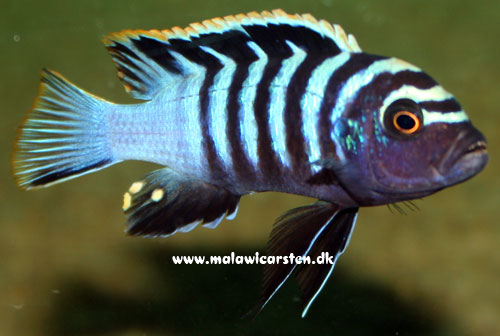 "Cynotilapia zebroides ""Red Top"" Chewere"