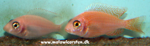 "Aulonocara sp.""Red"" Opdrætsform!!"