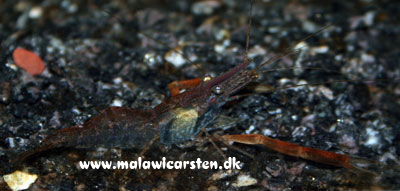 Red Claw Reje - Macrobrachium assamense