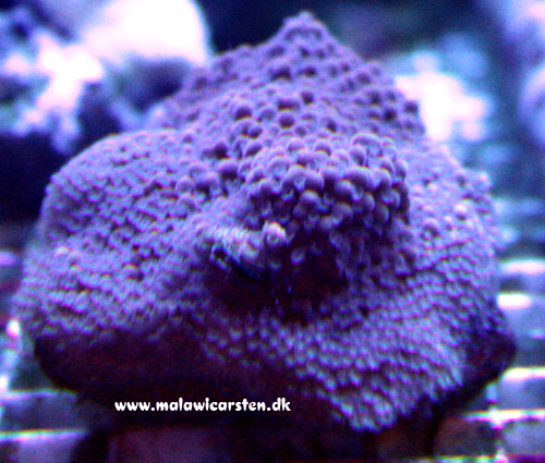 Montipora sp. (encrusting purple)