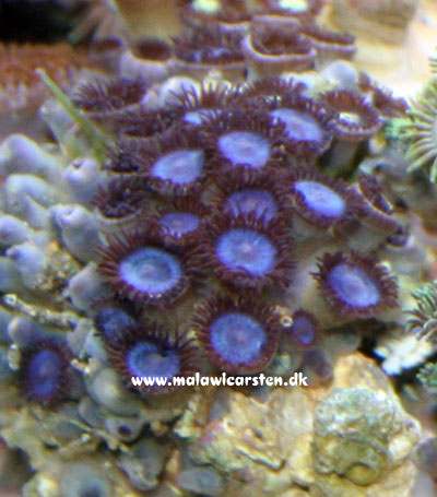 "Zoanthus Sp. Blue ""Blue Colonial Polyps"""