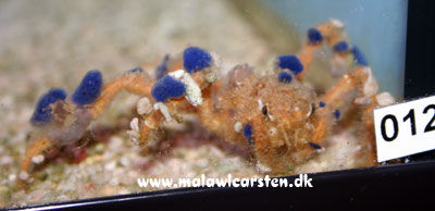 Camposcia retusa - Decorator Crab
