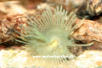 Bispira species - Tube worm gul