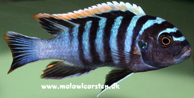 "Cynotilapia zebroides ""Red Top"" Likoma Island"