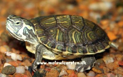 sump skildpadde