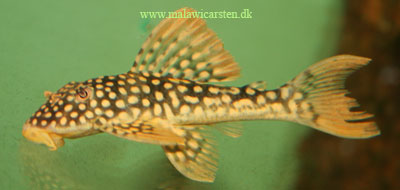 L-048 Scobinancistrus auratus
