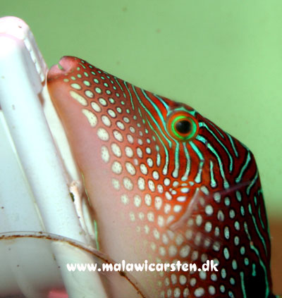 Canthigaster margeritatus - Pearl Toby