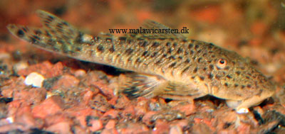 "L-276 Chaetostoma sp. ""Bloodfin Bulldog Pleco"""