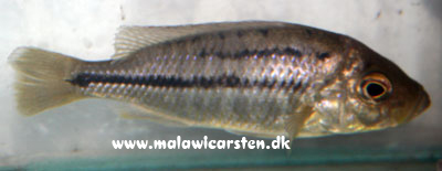 "Hemitaeniochromis sp. ""Spilopterus Yellow"""
