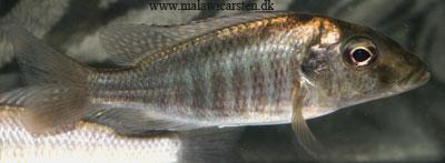 Картинки по запросу taeniolethrinops laticeps