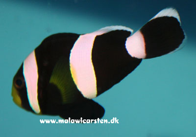 Amphiprion polymnus - Black saddleback Clown