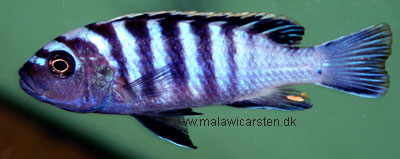 Cynotilapia zebroides Chilumba