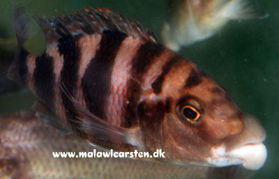 "Placidochromis milomo ""Orange"" Maleri Island"