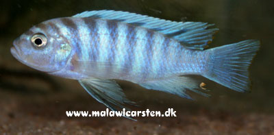 "Cynotilapia zebroides ""White Top"" Lion's Cove"