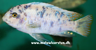 "Labeotropheus fuelleborni ""Blue Eastern"" MC Eccles Reef"