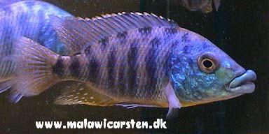Fisken på billedet er fra maleri island