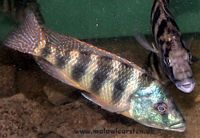 Placidochromis johnstoni Nkhata Bay