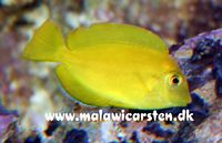 Acanthurus olivaceus - Orange shoulder Tang