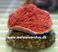 Montipora sp. (laminar orange/red)
