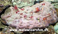 Porites assorted (bisperma worms)