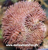 Sarcophyton - Leather coral