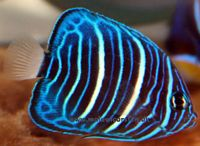 Pomacanthus annularis - Blue ringed angelfish