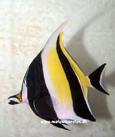 Zanclus coranatus - Moorish Idol