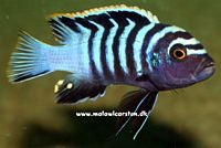 "Cynotilapia zebroides ""Red Top"" Chewere (Cynotilapia afra ""Red Top"")"