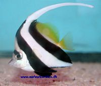 Heniochus acuminatus - Fattigmands Moorish Idol