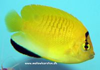Apolemichthys trimaculatus - Blue lipstick / Flagfin Angelfish
