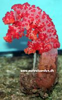 Dendronephthya divaricata - Cauliflower on rock (Color)