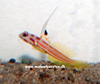 Stonogobiops Sp. - Red Mask Goby (Yasha Goby)