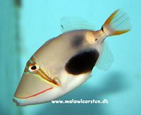 Rhinecanthus verrucosus - Black Patch Triggerfish
