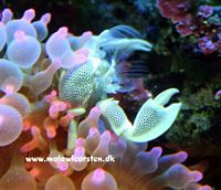 Neopetrolisthes Sp. - Anemone Porcelain Crab