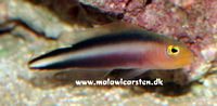Pseudochromis bitaeniatus - Double-Striped Dottyback - Purple