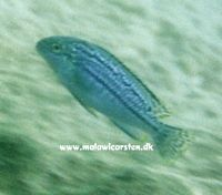 Melanochromis dialeptos ukendt sted Mozambique